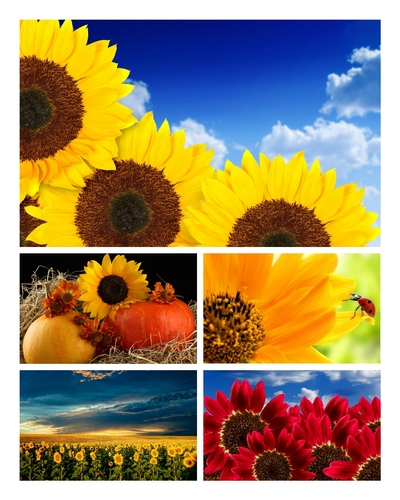 Wallpapers - HD Beautiful Sunflowers