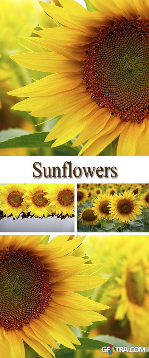 Stock Photo: Sunflowers 3
