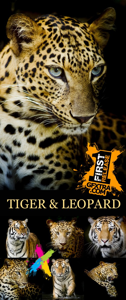 Stock Photo - Leopard & Tiger