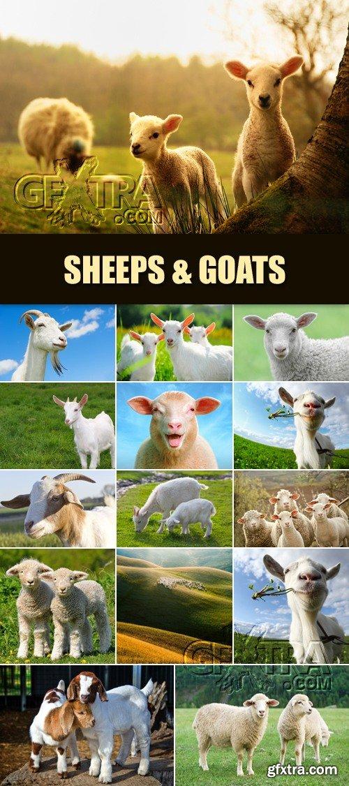 Stock Photo - Sheeps & Goats - Symbol of 2015 Year