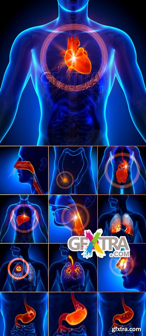 Stock Photo - Internal Organs - Medical Concept