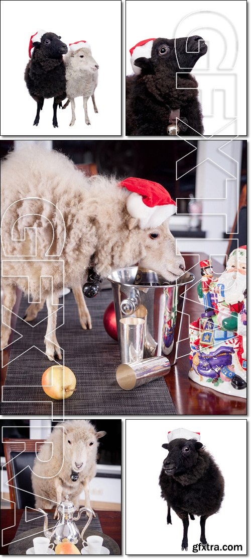 Portrait Of White and Black sheep in christmas - Stock photo
