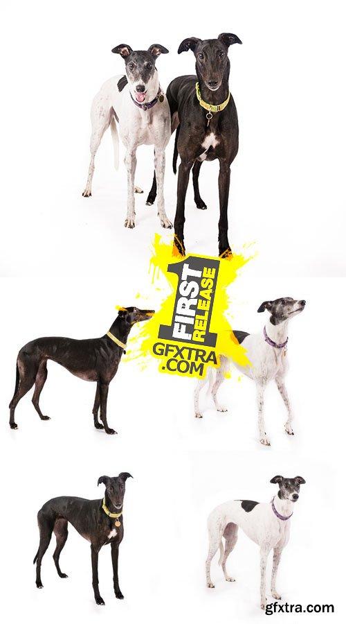 Stock Photos - Pair of Greyhounds