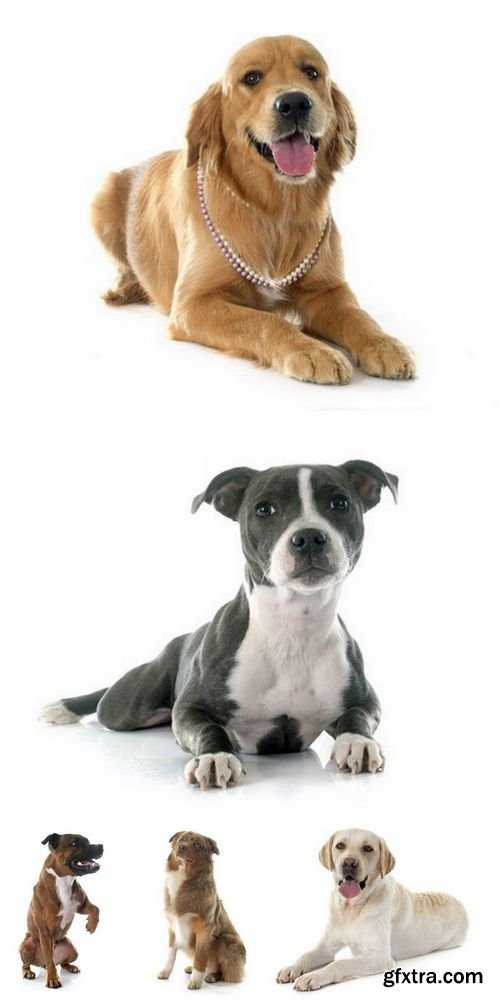 Stock Photos - Dogs Isolated