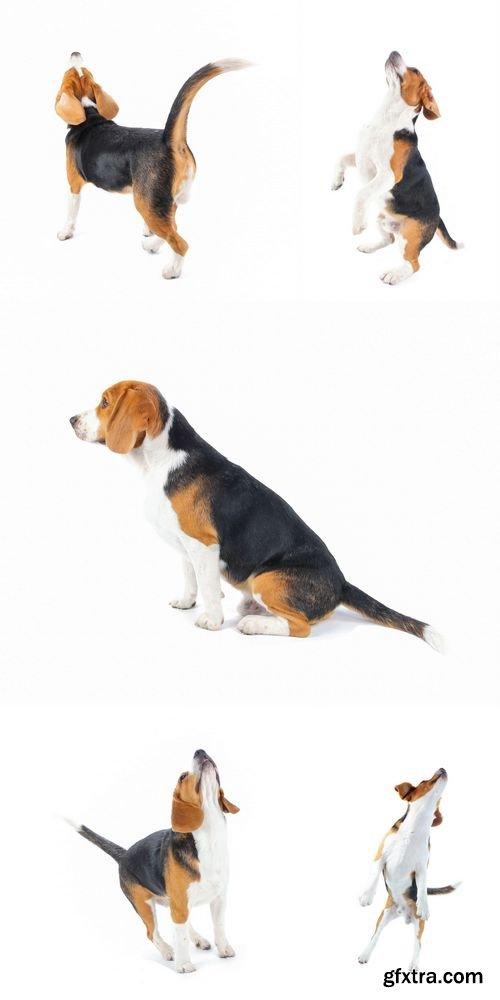Stock Photos - Beagle Dog Isolated on White