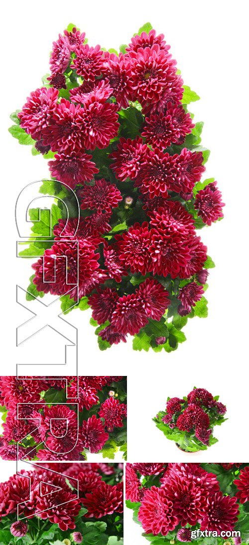 Stock Photos - Bouquet of Chrysanthemums Isolated on White Background