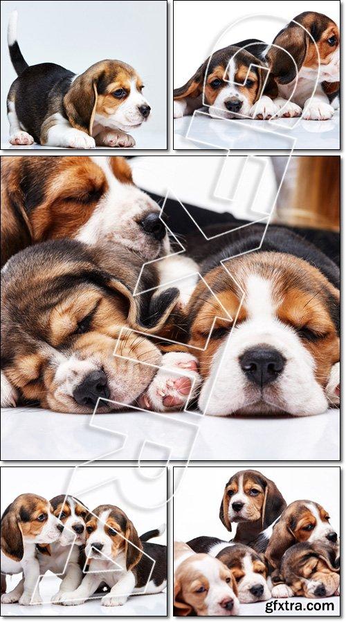 Beagle Puppies, slipping - Stock photo