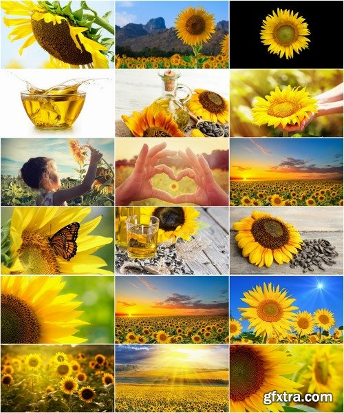 Collection of a field of sunflowers in the sun sunset dawn sunflower seeds sunflower oil 25 HQ Jpeg