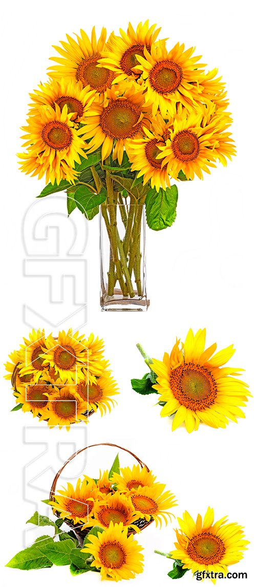 Stock Photos - A big bunch of sunflowers in a vase, in a basket
