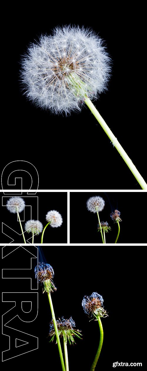 Stock Photos - Dandelion on a black background. Blown dandelion on a black background
