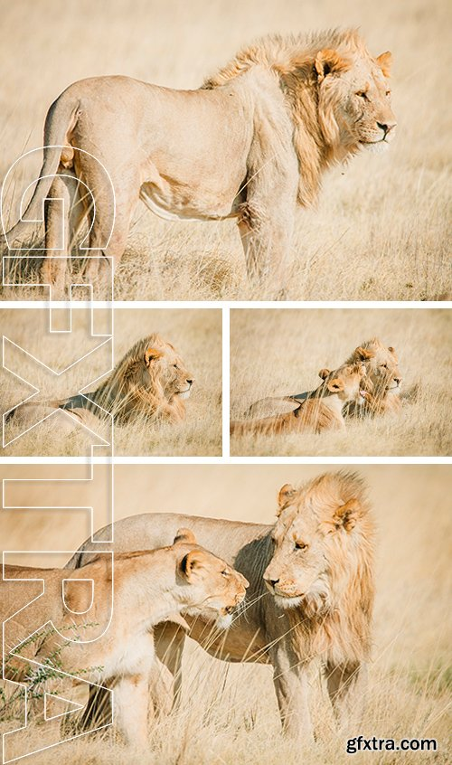Stock Photos - An African male and female lion on the savanna in Africa with warm colors
