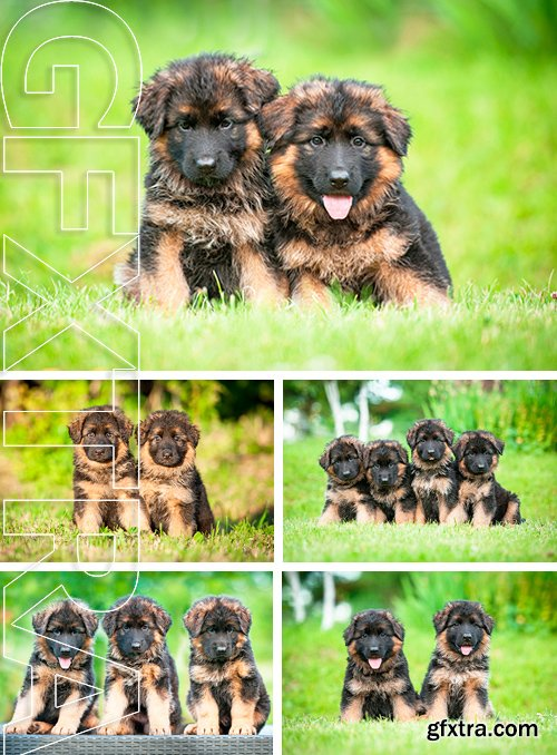 Stock Photos - Group of four little german shepherd puppies