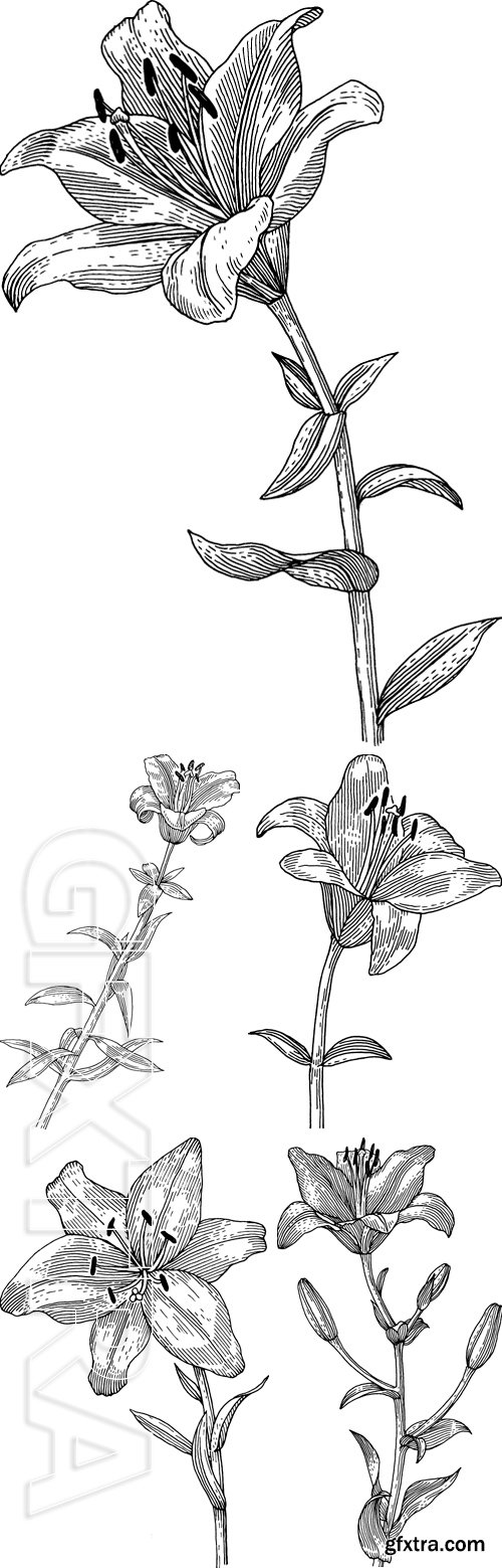 Stock Vectors - Sprig of blooming lily, black and white graphics