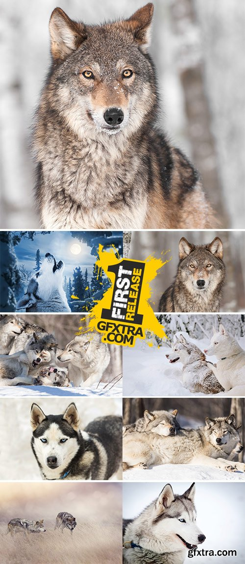 Stock Image Wolves in winter