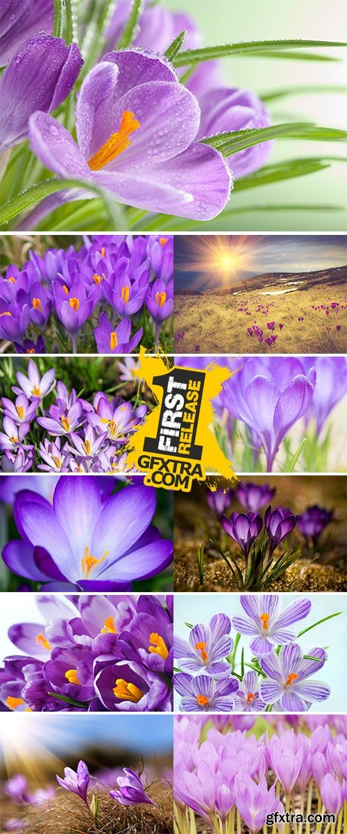 Stock Image Violet crocuses