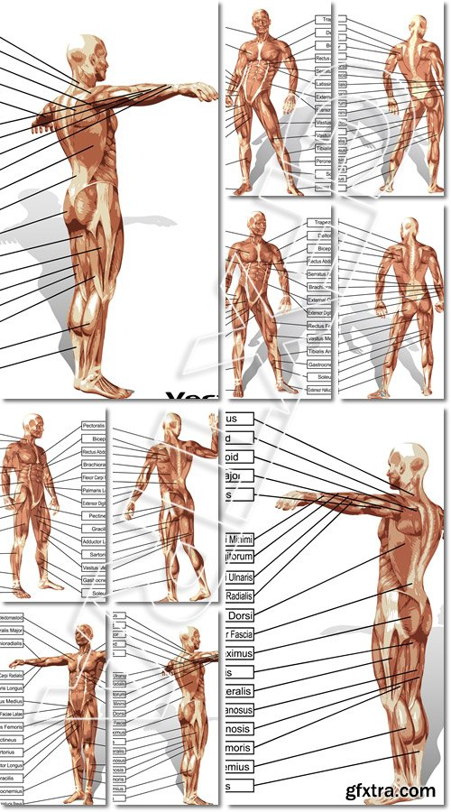Vector 3D man muscle anatomy with text isolated - Vector