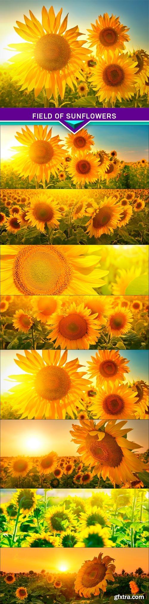 Field of sunflowers 8x JPEG