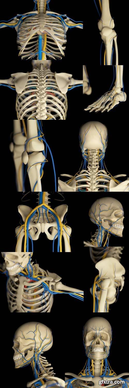 Human Skeleton and Vascular System
