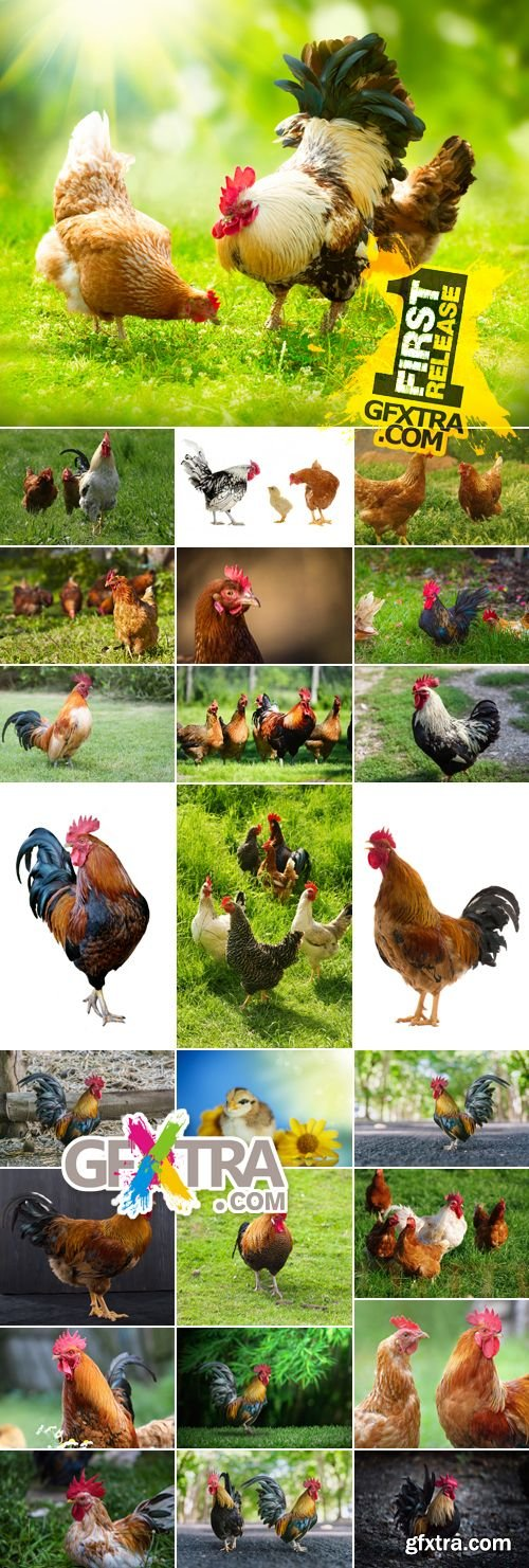 Stock Photo - Rooster & Hen