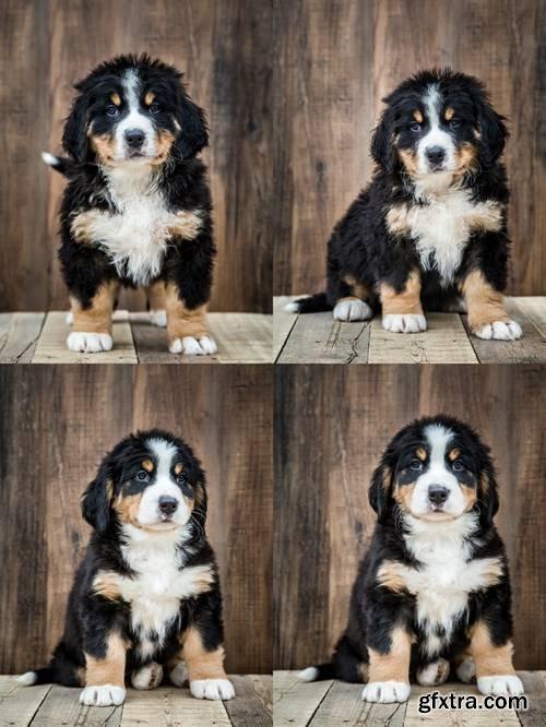 Cute Bernese Mountain Puppy Dog