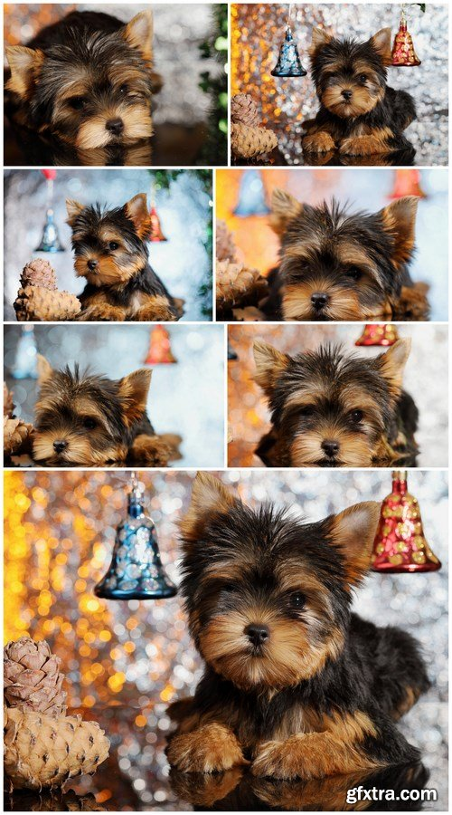 Yorkshire Terrier Puppy - 7 UHQ JPEG Stock Images