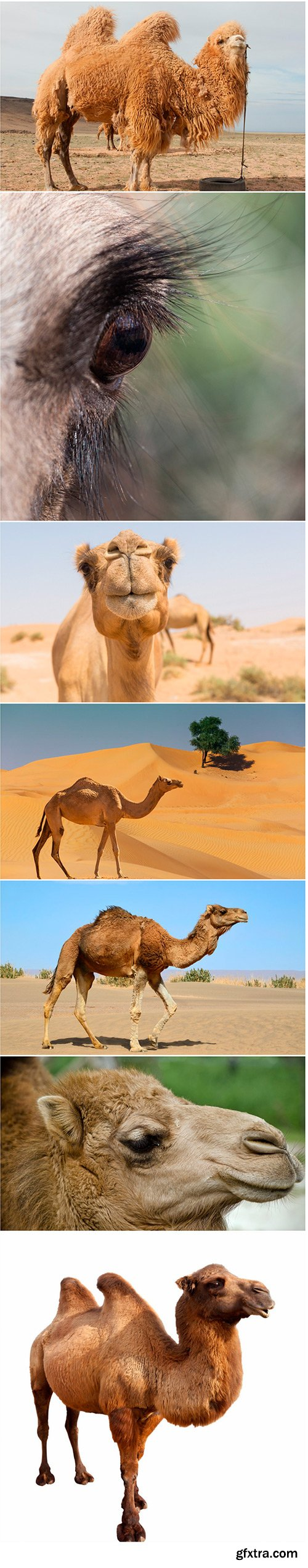 Camel - 7UHQ JPEG