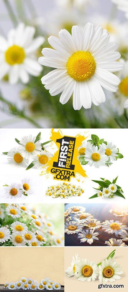 Stock Image Chamomile flower
