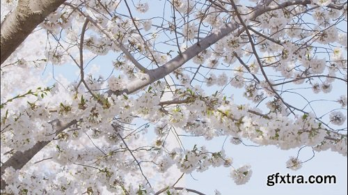 Сherry blossom tree branch with white flowers in full bloom against blue sky and the washington