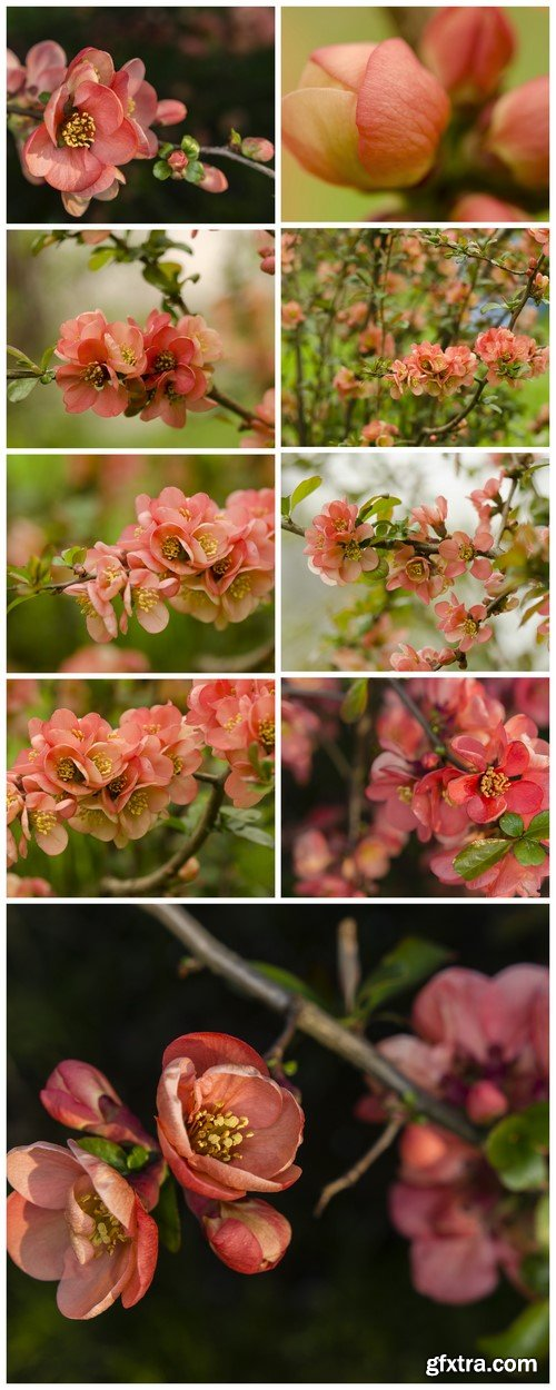 Japanese quince Spring 9X JPEG