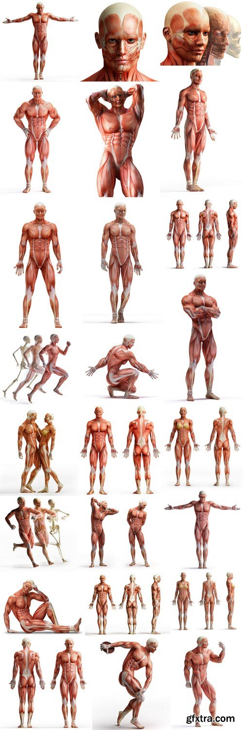 Body Anatomy Muscular Frame - 24 HQ Images
