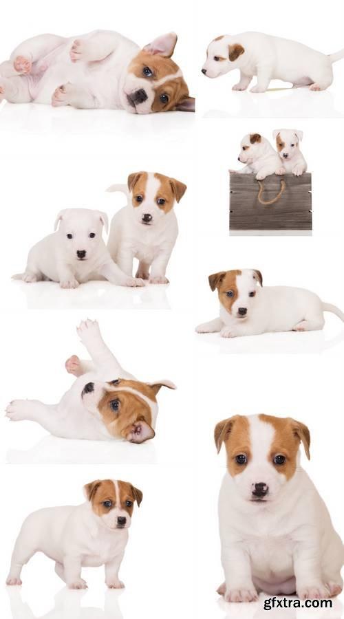 Puppy on White