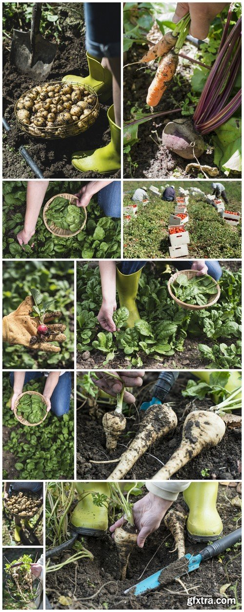 Picking spinach in a home garden, rich harvest 11X JPEG