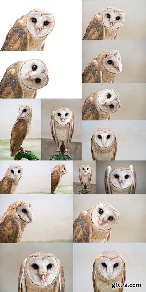Сommon barn owl ( Tyto albahead ) close up
