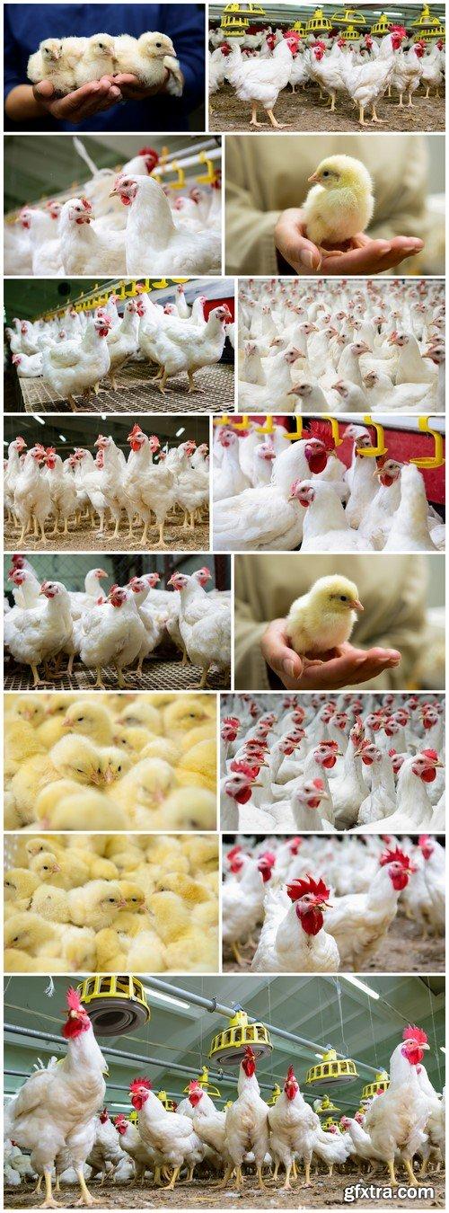Chicken Poultry farm 15X JPEG