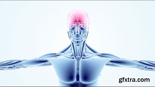 3d model human muscular scan from bottom up