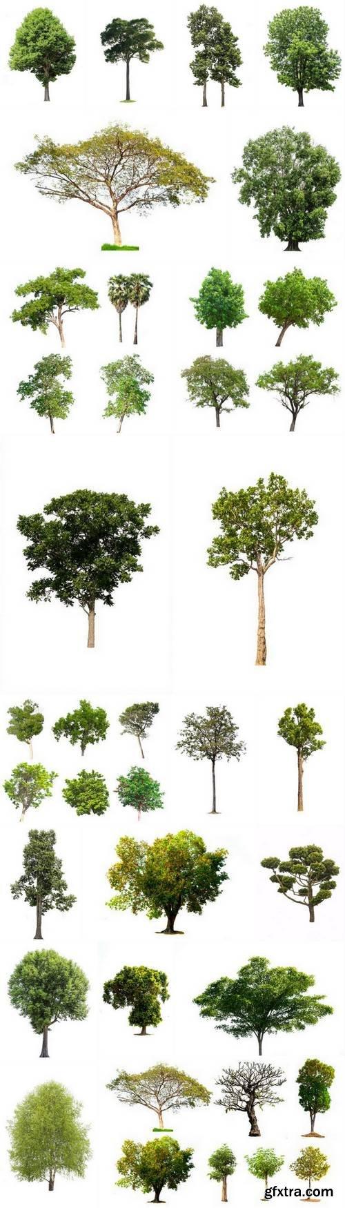 Tree Isolated on White Background 16