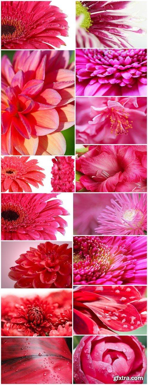 Beautiful pink gerbera flower 16X JPEG
