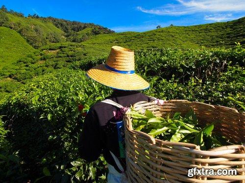 Tea Plantation & Green Fields with Workers 25xJPG