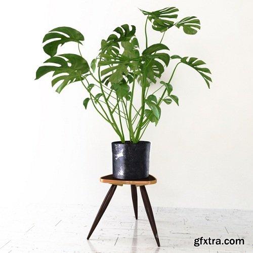 Monstera Tropical Plant 3d Model