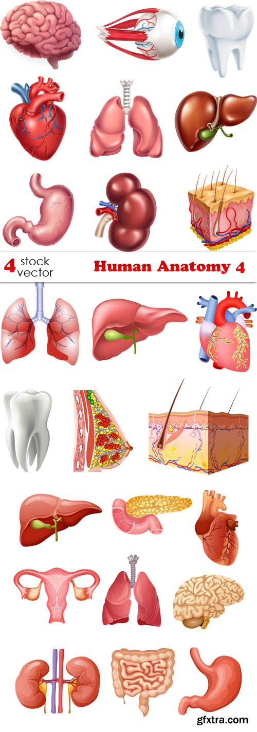 Vectors - Human Anatomy 4