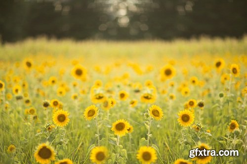 KCC Sunflower Fields Digital Backgrounds