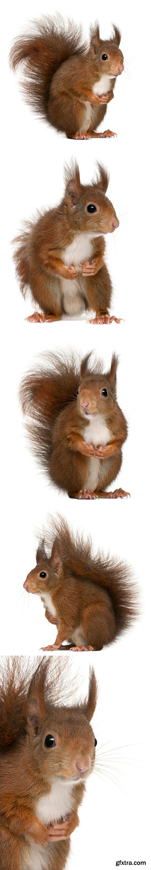 Eurasian Red Squirrel Isolated - 7xJPGs