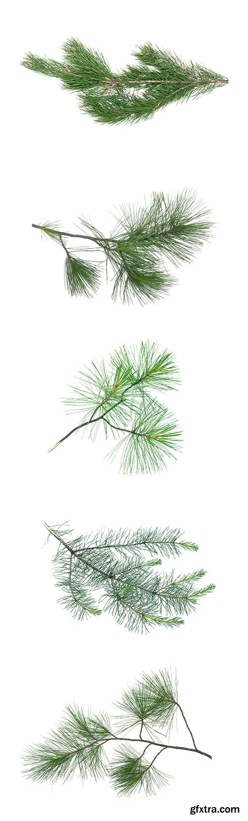 Green Pine Tree Branch Isolated - 10xJPGs
