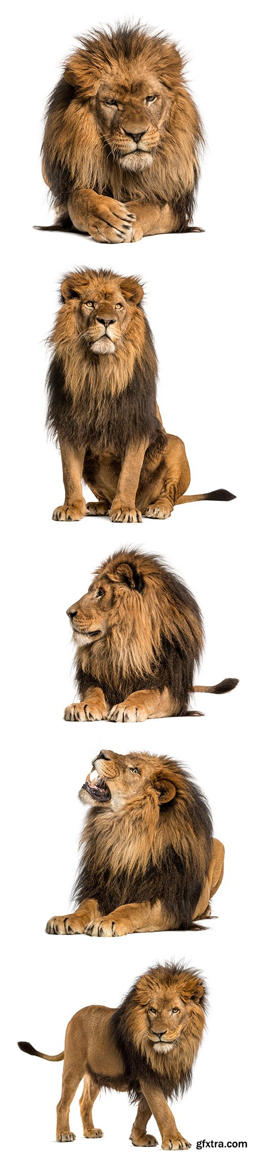 Lion Isolated - 15xJPGs