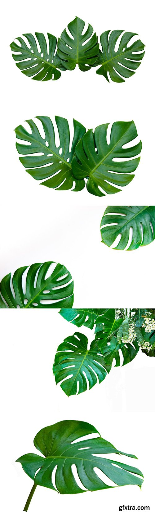 Monstera Leaves Isolated - 10xJPGs