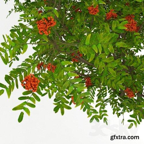 Rowan Tree 03