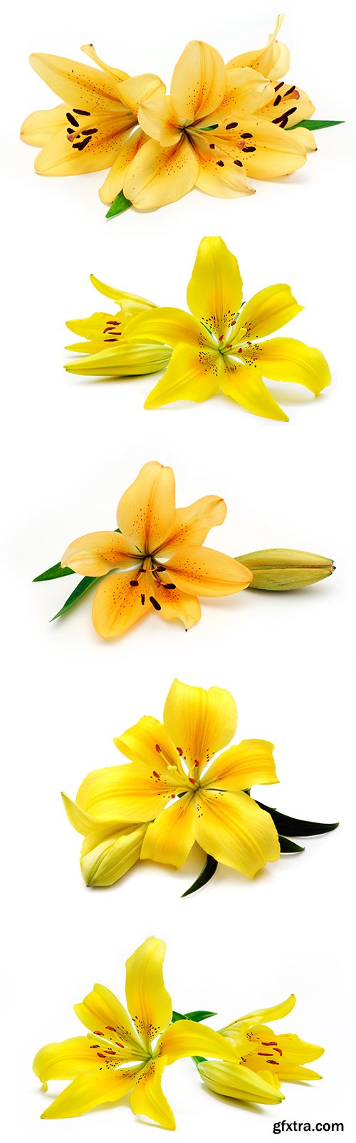 Yellow Lily Isolated - 8xJPGs