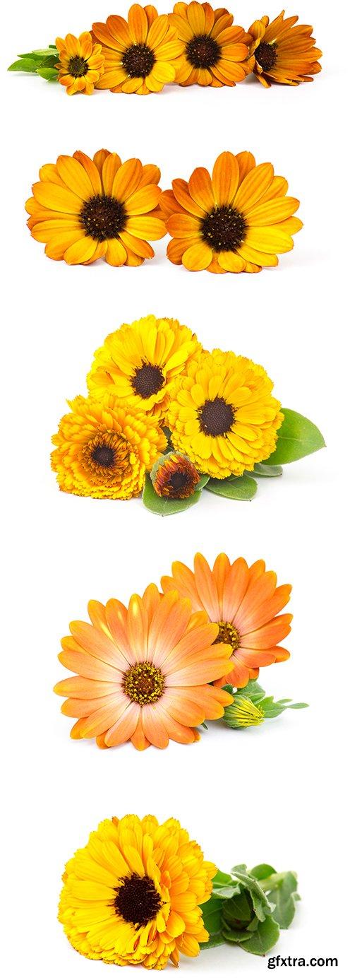 Calendula Flowers Isolated - 11xJPGs