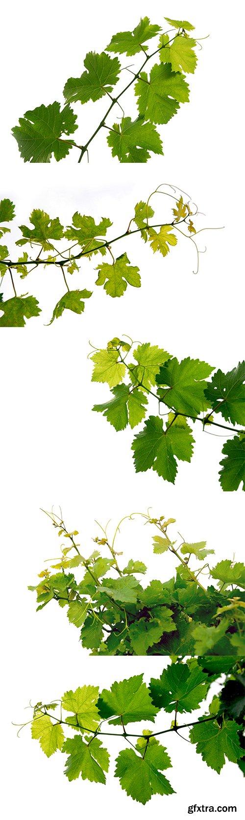 Grape Vine Isolated - 6xJPGs