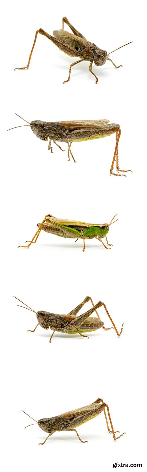 Grasshopper Isolated - 7xJPGs